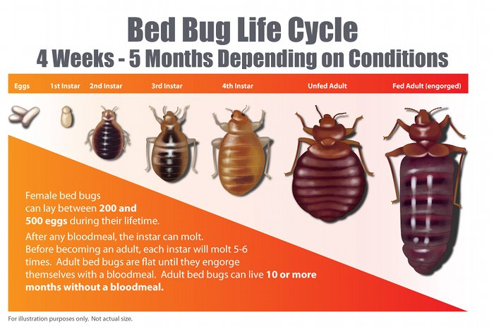 How Long Do Bed Bug Eggs Live Before Hatching
